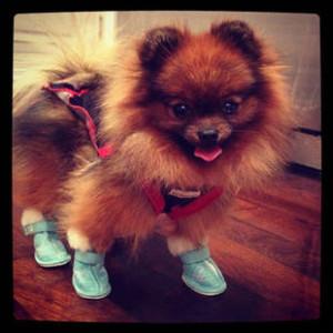 Шпиц в ботинках